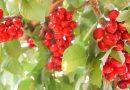 さくらんぼ狩り(U-Pick Cherries) in カリフォルニア ブレントウッド