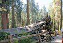 これが世界で一番大きな木!セコイア&キングスキャニオン国立公園 その1(カリフォルニア )