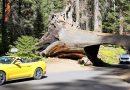これが世界で一番大きな木!セコイア&キングスキャニオン国立公園 その2(カリフォルニア )