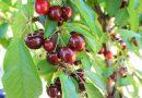 ブレントウッドにさくらんぼ狩りにでかけよう!2018 Picking Cherries in Brentwood California