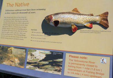 イエローストーン国立公園でフィッシング 1. イエローストーン川編 Fishing in Yellowstone River, Yellowstone National Park