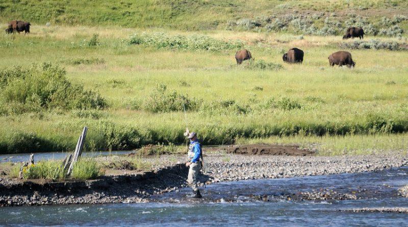 イエローストーン国立公園でフィッシング 2.ラマー川でバイソンと釣り編 Fishing with Bison in Lamar River, Yellowstone National Park