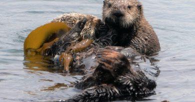 野生のラッコの赤ちゃんが見れるかも!モロベイ in カリフォルニア Morro Bay in California