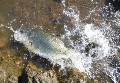 サンノゼ カレロ リザバーでバス釣り。Bass Fishing in Calero Reservoir, California