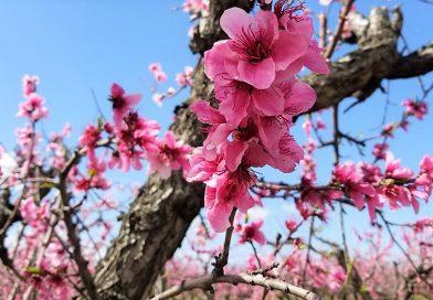 ブレントウッドにさくらんぼと桃の花を見に行ってきたよ。Blossom viewing in Brentwood, California