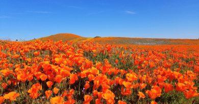 神回!大迫力!アンテロープ バレーにカリフォルニア・ポピーを見に行こう。Antelope Valley California Poppy Reserve