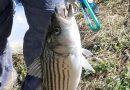 2019春のバス釣り。今度はストライプトバス! Fishing in San Luis Reservoir, California