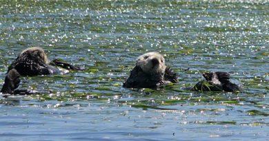 カヤックでラッコ & アザラシ ウオッチング! モスランディング in カリフォルニア Watching Wildlife in Moss Landing, California