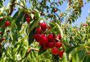 2019 さくらんぼ狩り in ブレントウッド! U-PICK Cherries in Brentwood California