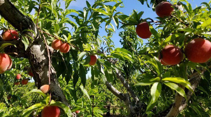 2019 今年も来ました!ブレントウッドで白桃狩り。2019 U-pick White Peaches in Brentwood California