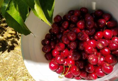 大発見!2019 さくらんぼ狩りはギルロイが大正解!! U-PICK Cherries in Gilroy, California