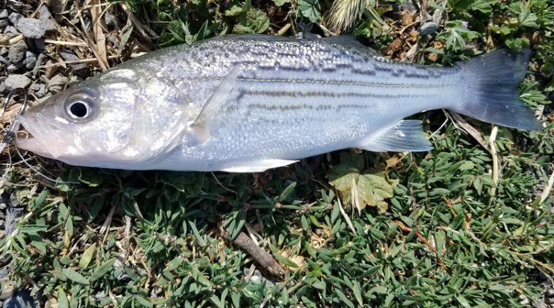 フィッシング in カリフォルニア・デルタ! 釣れないSturgeon, 邪魔するStriper. Fishing in the California Delta