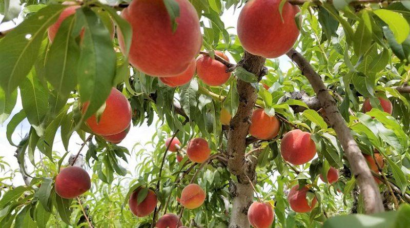 黄桃、杏、ネクタリン狩りin ブレントウッド! U-pick Yellow Peaches, Apricots, and Nectarines in Brentwood, CA